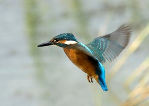 flying-kingfisher