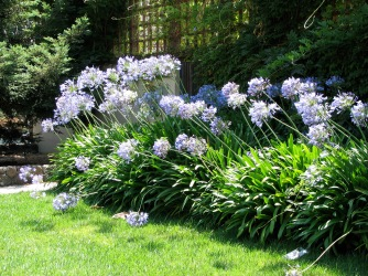 Agapanthus in their natural habitat