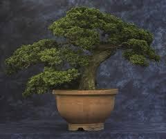 hinoki cypress chabo-hiba 1787