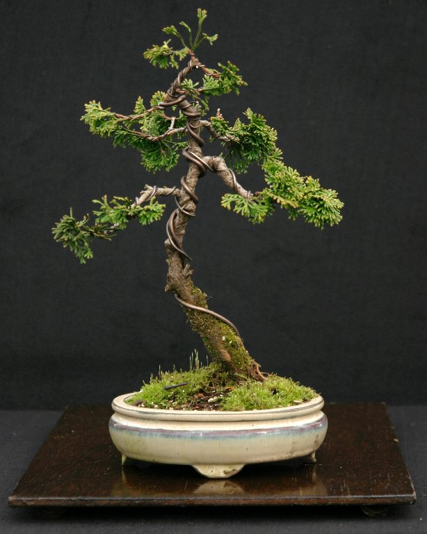 hinoki cypress golden express